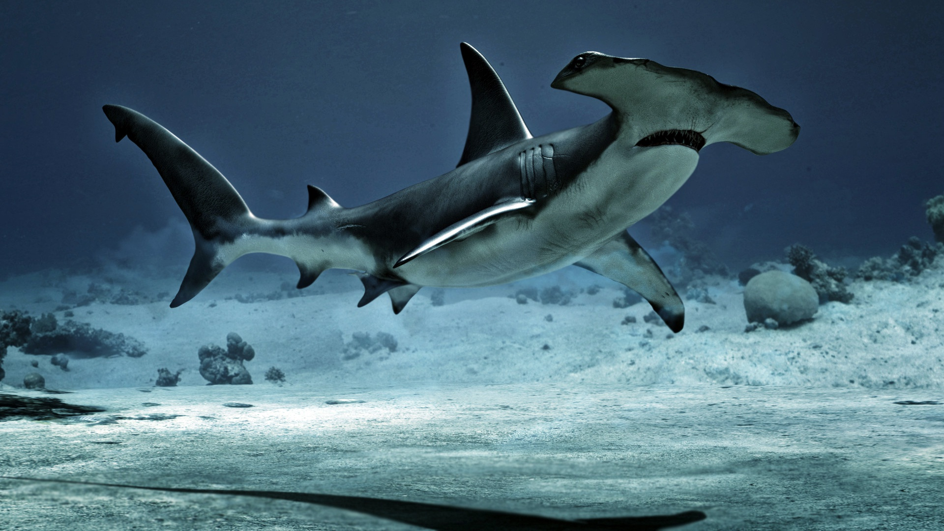 great hammerhead shark pictures - HD1920×1080