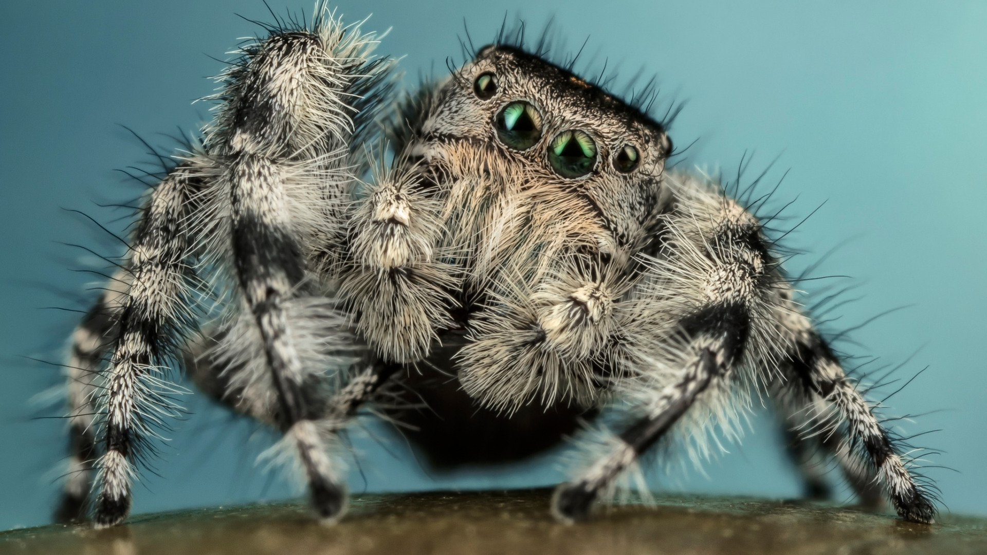 Big hairy spider black and white stock photos images