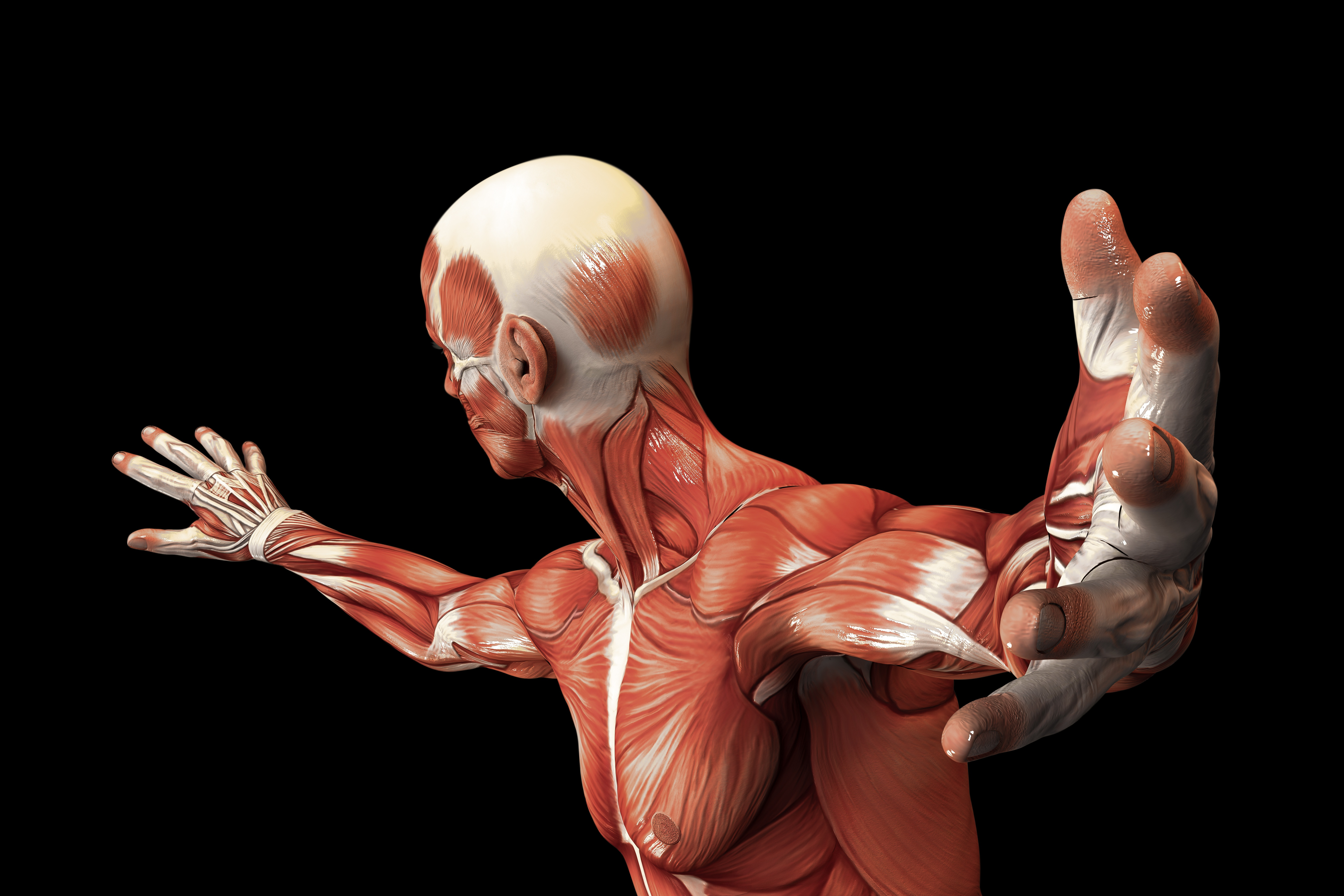 biggest muscles in the human body - HD6000×4000