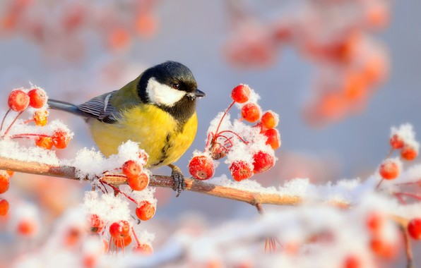 Picture winter, frost, snow, nature, berries, bird, branch, frost, tit, Vlad Vladilenoff
