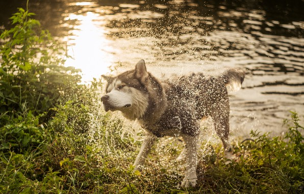 Picture grass, water, drops, light, squirt, nature, pose, glare, shore, dog, wet, ruffle, wool, bathing, pond, …