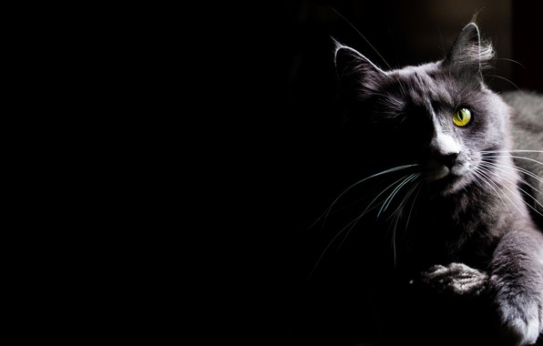 Picture cat, cat, look, kitty, black background