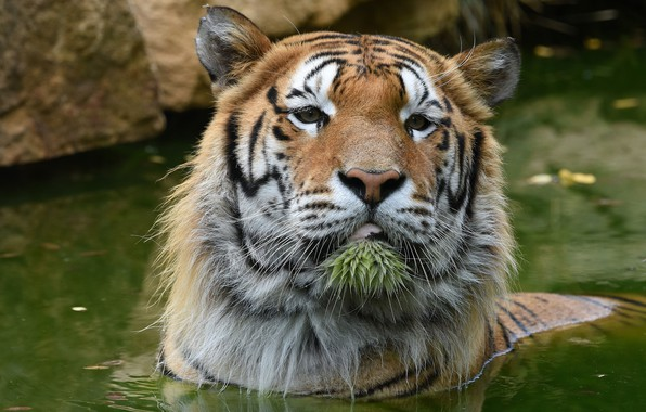 Picture face, water, tiger, portrait, bathing, pond