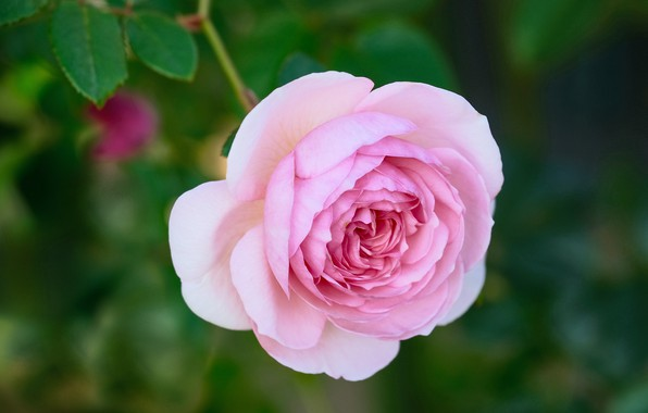 Picture background, pink, rose, bokeh