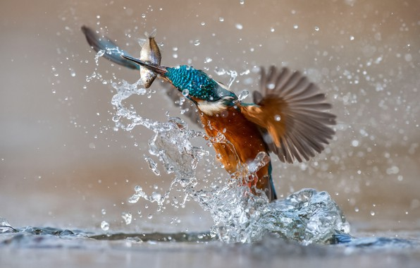 Picture water, squirt, bird, fish, Kingfisher, kingfisher, catch