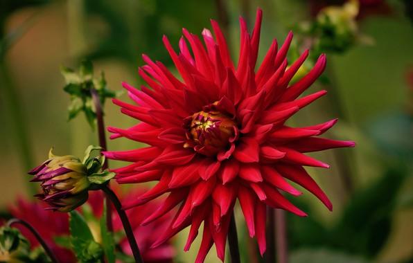 Picture macro, Bud, red, Dahlia