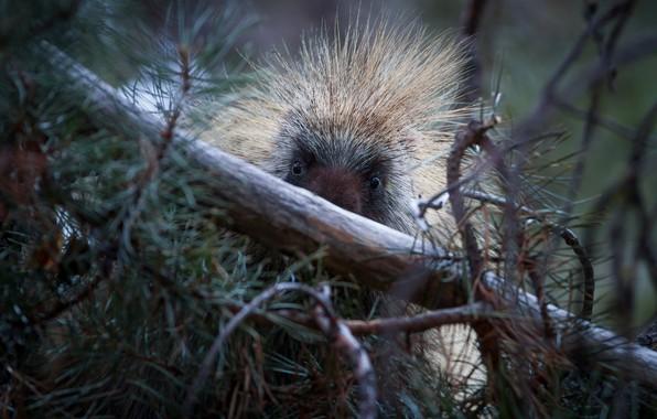 Picture tree, pine, porcupine