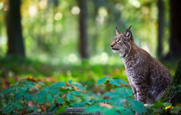 Picture forest, lynx, wild cat