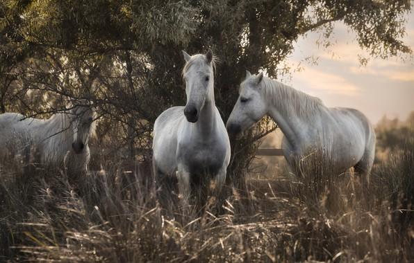 Picture grass, nature, tree, horses, horse, trio, Trinity