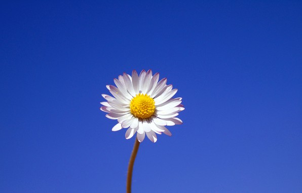 Picture flower, background, minimalism, Daisy