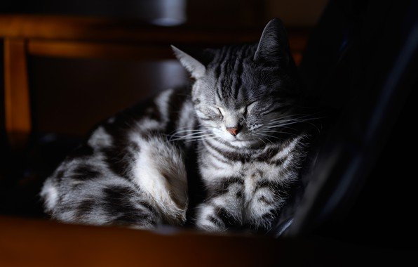 Picture cat, cat, face, light, the dark background, grey, stay, sleep, portrait, chair, sleeping, lies, striped, …