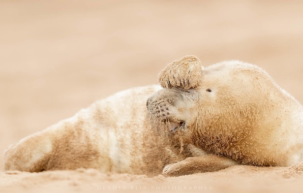 Picture seal, Zeehond, seal