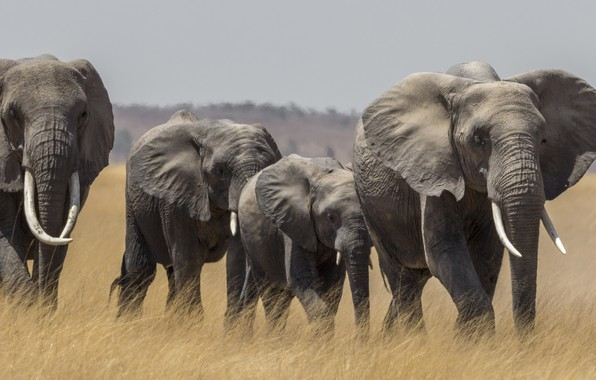 Picture Savannah, Africa, elephants, the herd