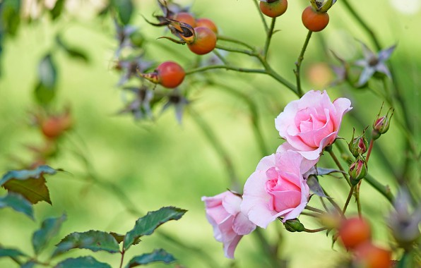 Picture leaves, flowers, branches, berries, roses, garden, fruit, briar, pink, buds, green background