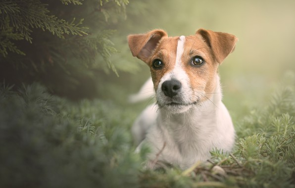 Picture look, portrait, dog, face, doggie, Jack Russell Terrier