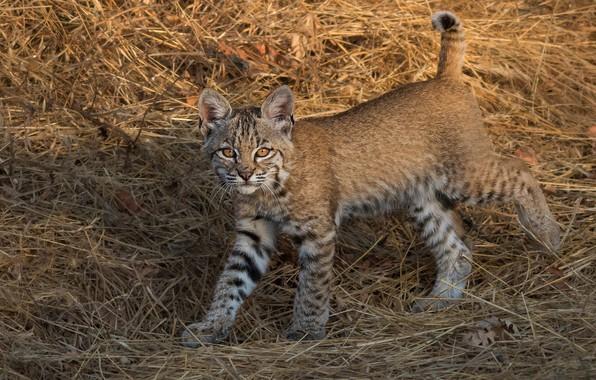 Picture hay, straw, lynx, a small lynx, a small lynx