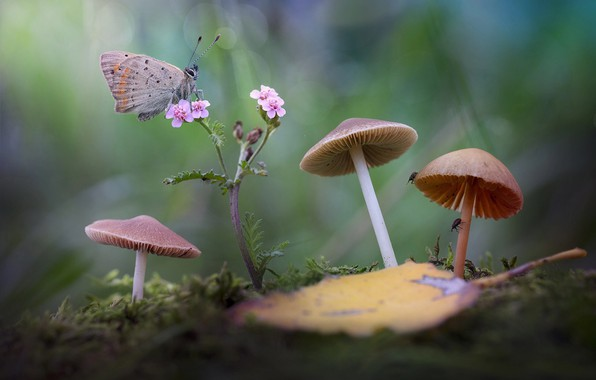 Picture flower, macro, insects, nature, sheet, butterfly, mushrooms, moss, bugs, bokeh, toadstool, Roberto Aldrovandi