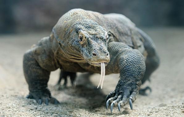 Picture lizard, reptil, komodo