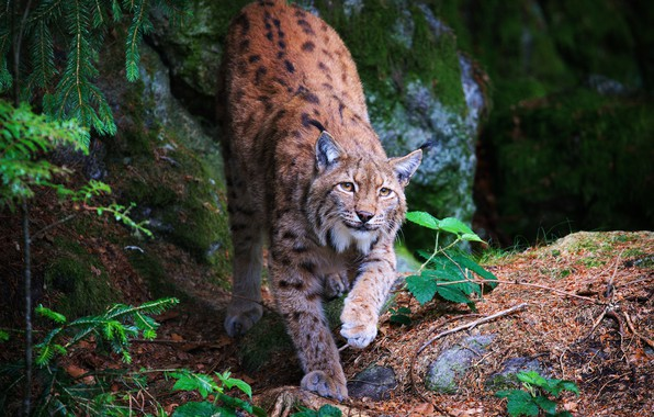 Picture greens, forest, look, face, leaves, branches, nature, pose, stones, background, paws, beauty, lynx, needles, wild …