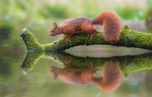 Picture pose, reflection, moss, branch, protein, animal, red, log, bitches, squirrel, rodent, symmetry, mirror