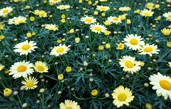 Picture greens, field, summer, leaves, flowers, glade, chamomile, white, a lot, buds, chamomile field