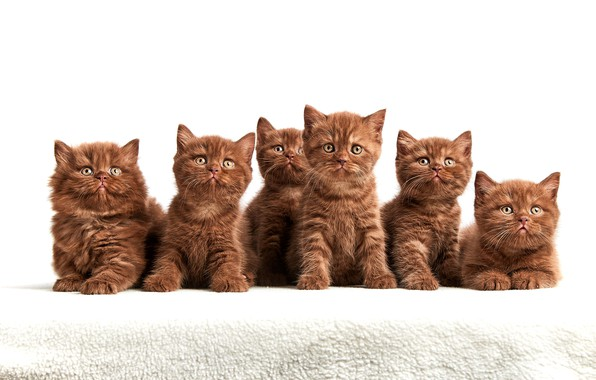 Picture look, kittens, white background, company, brown, cuties, a lot, faces, sitting, chocolate, British