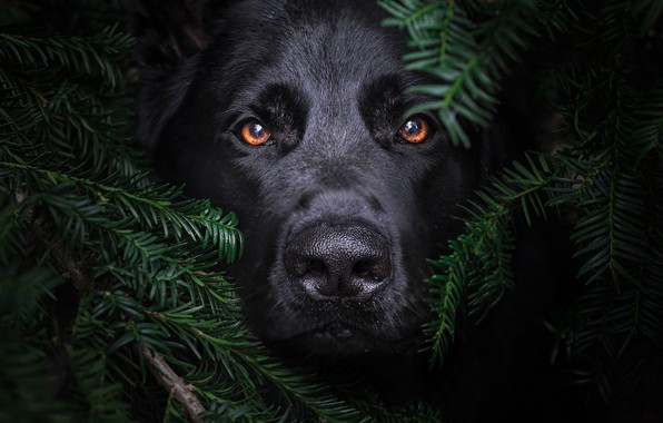 Picture look, face, branches, dog