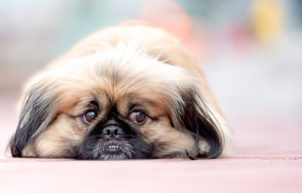 Picture look, dog, muzzle, bokeh, Pekingese