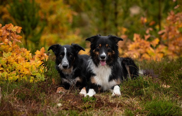 Picture autumn, forest, dogs, look, nature, Park, foliage, pair, a couple, Duo, black, lie