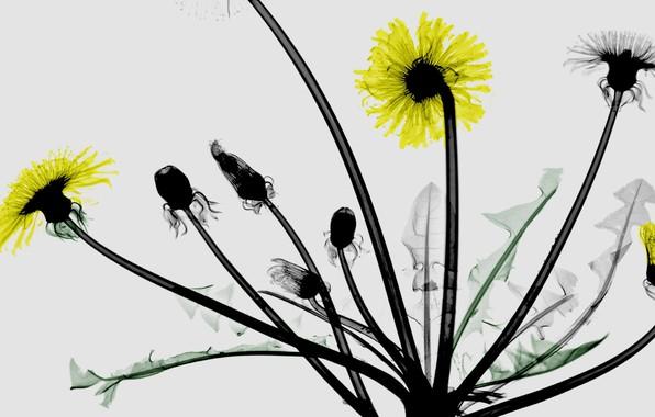 Picture leaves, macro, dandelion, petals, stem, coloured x-ray