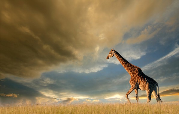 Picture field, the sky, grass, the sun, clouds, clouds, nature, giraffe