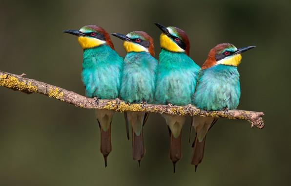 Picture birds, branch, Golden bee-eater, bee-eaters, schurka