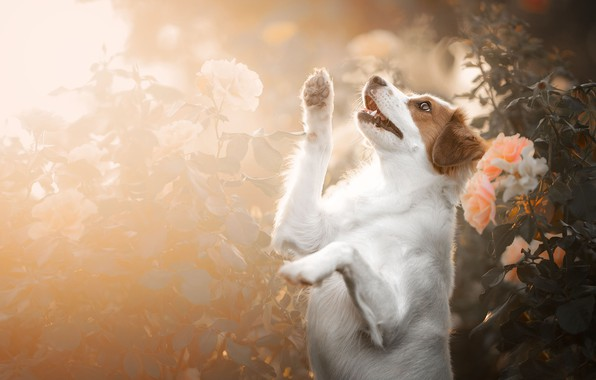 Picture flowers, roses, dog, paws, stand