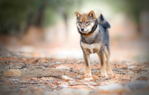 Picture look, nature, stones, background, dog, tail, collar, young, doggie, Shiba inu