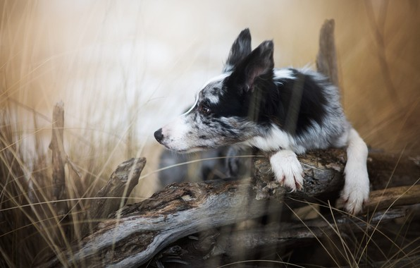 Picture autumn, grass, look, nature, pose, background, tree, dog, paws, puppy, lies, profile, snag, log, grey, …
