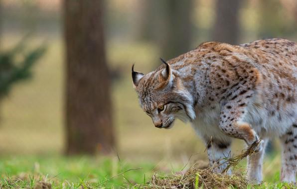 Picture forest, cat, summer, grass, pose, walk, lynx, wild