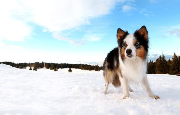 Picture winter, forest, the sky, clouds, snow, blue, dog, ate, puppy, the border collie