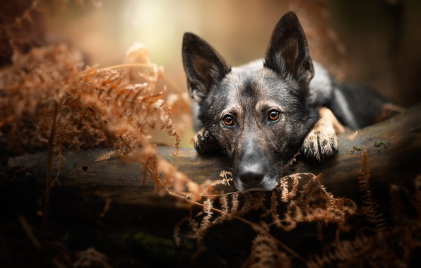 Picture autumn, forest, look, face, leaves, nature, pose, portrait, dog, paws, lies, log, fern, German shepherd, …