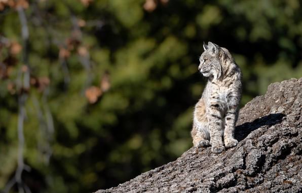 Picture slope, lynx, wild cat, bokeh