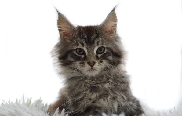 Picture look, fluffy, muzzle, white background, kitty