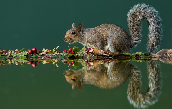 Picture autumn, leaves, water, pose, reflection, berries, protein, fruit, tail, grey, green background, squirrel, rodent, composition, …