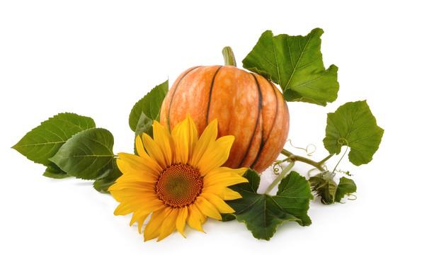 Picture leaves, sunflower, pumpkin, light background