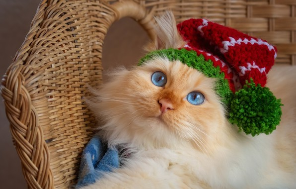Picture cat, cat, look, face, portrait, chair, lies, image, blue eyes, red, green, cap, cap, handsome, …
