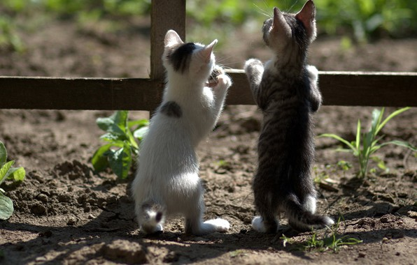 Picture the fence, curiosity, on hind legs, two kittens
