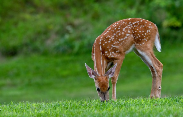 Picture grass, deer, fawn, white-tailed