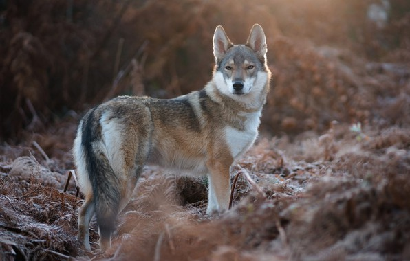 Picture look, nature, vegetation, wolf