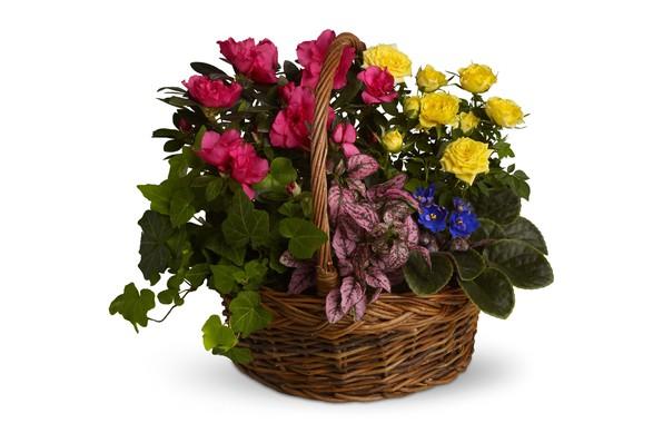 Picture flowers, roses, white background, Caladium