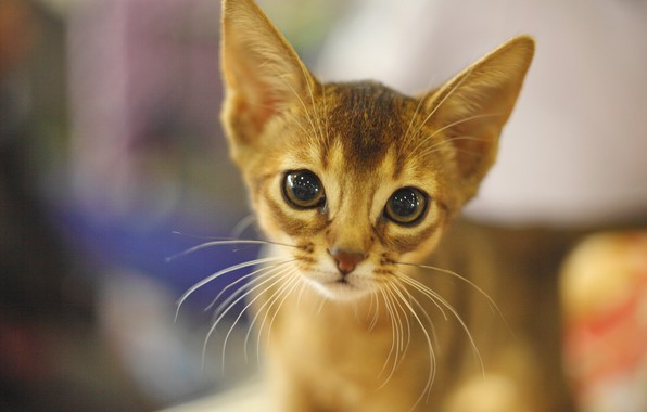 Picture look, muzzle, kitty, Abyssinian cat