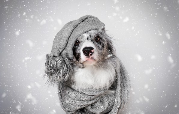 Picture winter, look, face, snow, heat, grey, background, hat, portrait, dog, scarf, fur, grey, snowfall, the …