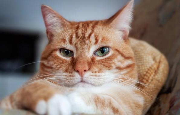 Picture cat, look, portrait, red, muzzle, Kote, serious, cat